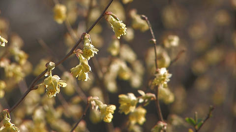 Spring Yellow Flowers in Showa Kinen Park,Tokyo,Japan Stock Video Footage