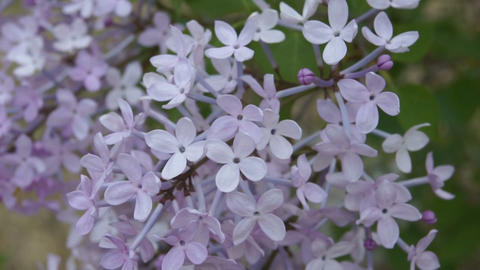 Spring Flowering Lilac in the Shadow Stock Video Footage