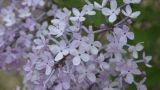 Spring Flowering Lilac In The Shadow stock footage