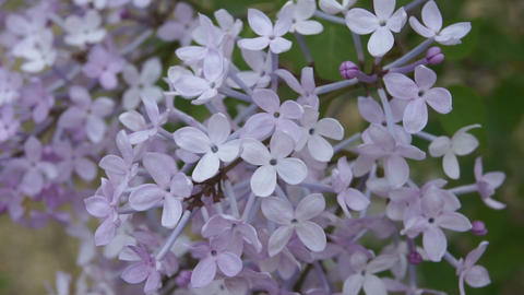 Spring Flowering Lilac in the Shadow Footage