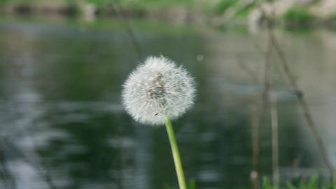 fluffy dandelion Stock Video Footage