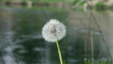 fluffy dandelion Stock Video Footage