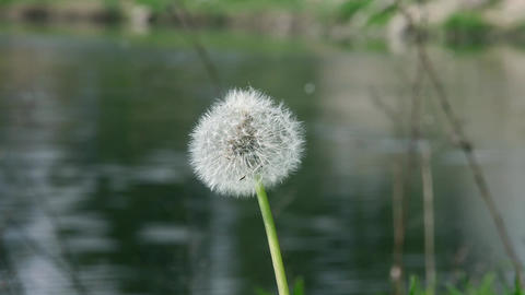 fluffy dandelion Live Action