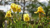 Irises in Garden Footage