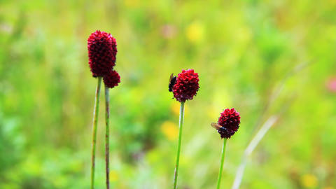 Close-up of burnet flowers Stock Video Footage