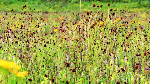 Field of burnet flowers Stock Video Footage