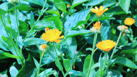 Close-up of calendula flowers Stock Video Footage