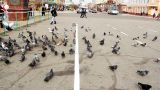 Pigeons feeding in city square Footage