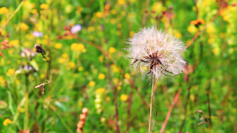 Close view of a wind dandelion swaying in the wind Stock Video Footage