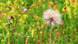 Close view of a wind dandelion swaying in the wind Footage