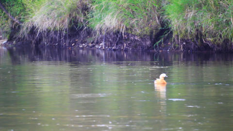 Duck float on the river surface Stock Video Footage