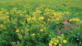 Vibrant yellow buttercup flowers on the meadow Footage