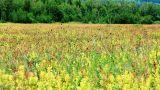 Field of burnet flowers Footage