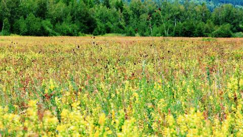 Field of burnet flowers Stock Video Footage