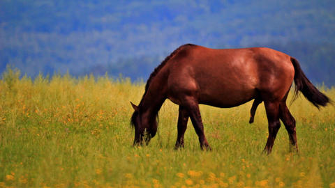Stallion grazing in the meadow Stock Video Footage