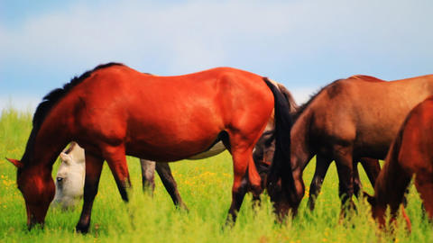 Horses grazing in the meadow Stock Video Footage
