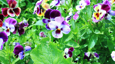 Pansy flowers Stock Video Footage