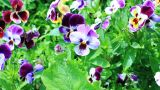 Pansy flowers Footage