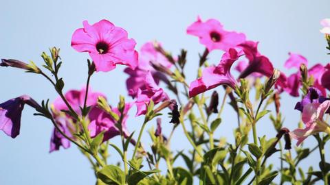 Petunia flowers Stock Video Footage