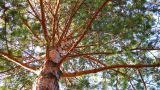 Pine Tree Dolly Shot Time Lapse Low Angle View stock footage