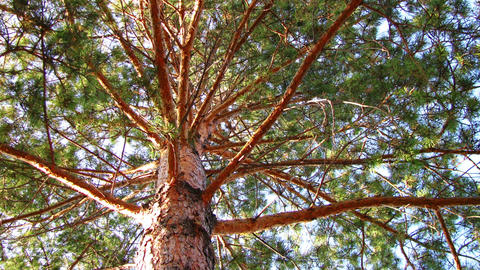 Pine tree dolly shot time lapse low angle view Stock Video Footage