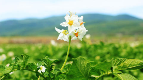 Potato flower on the field close-up Stock Video Footage