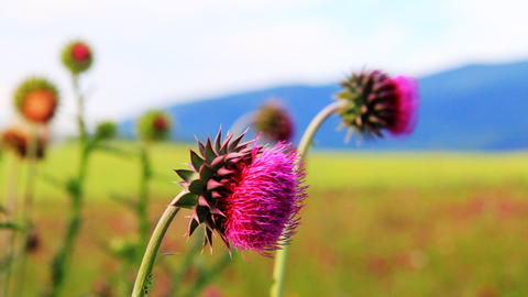 Close-up of the thistle in meadow Stock Video Footage