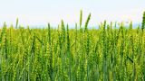 Spikes of wheat rustling in the wind Footage