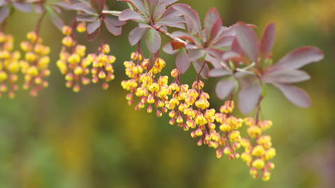 Barberry 1 Stock Video Footage