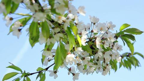 Flowering tree 1 Stock Video Footage