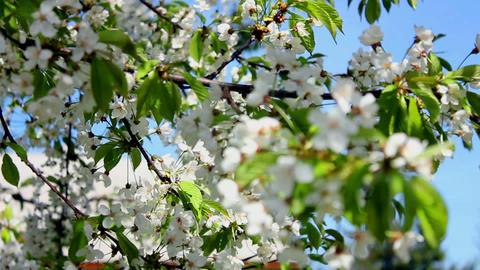 Flowering tree 3 Stock Video Footage