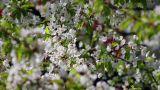 Flowering tree 5 Footage
