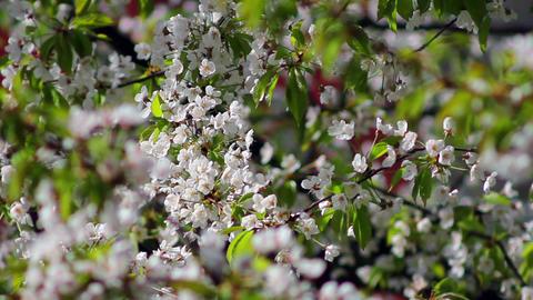 Flowering tree 5 Stock Video Footage