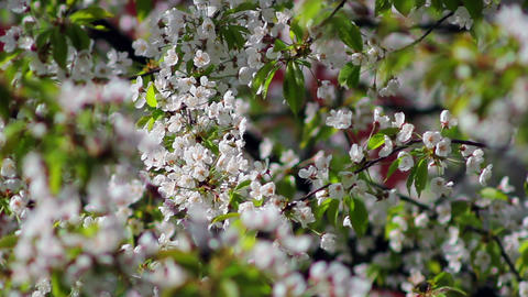Flowering tree 5 Stock Video Footage