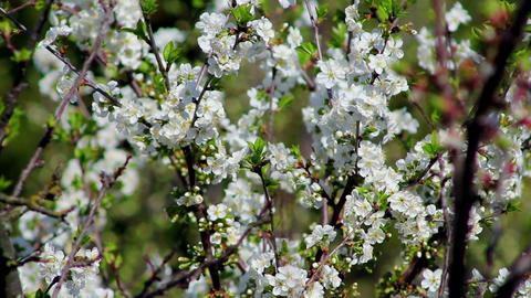 Flowering tree 7 Stock Video Footage