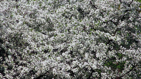 Flowering tree 9 Stock Video Footage