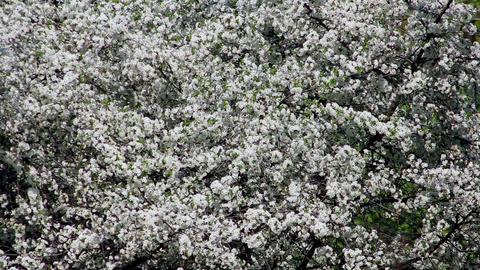 Flowering tree 9 Stock Video Footage
