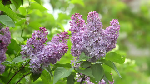 Lilac 1 Stock Video Footage