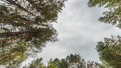 Pines look at the sky. Russia, Time Laspe Footage