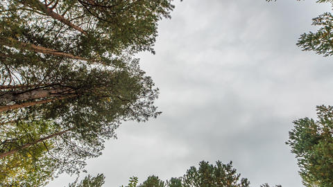 Pines look at the sky. Zoom. Russia, TimeLaspe Footage