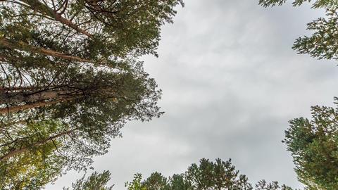 Trees. Zoom. Russia, TimeLaspe. 1280x720 Footage