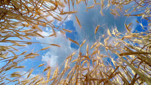Fast Clouds Over Golden Wheat stock footage