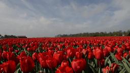 Tulip fields in Holland Footage