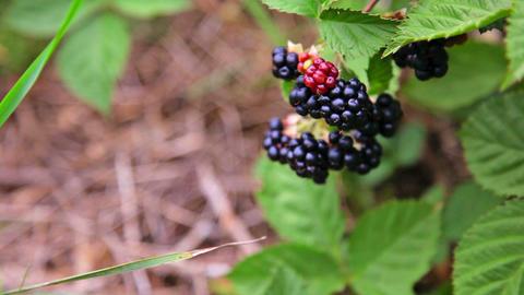 Blakcberry Bush stock footage