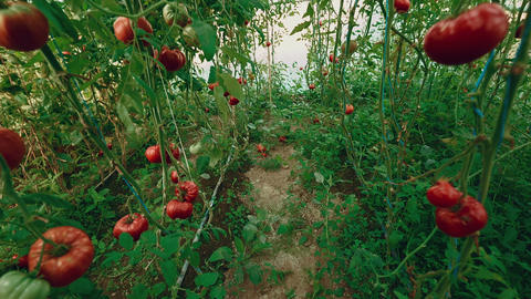 Crane-Jib Shot of Local Produce Organic Tomatoes with Vine and Foliage in Greenh Footage