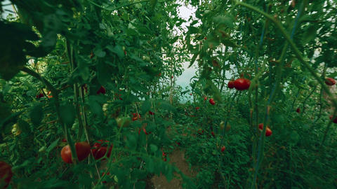 Flying Shot of Local Produce Organic Tomatoes with Vine and Foliage in Greenhous Footage