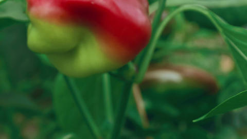 Slider Zoom Shot Of Local Produce Organic Green And Red Peppers With Foliage_Fly stock footage