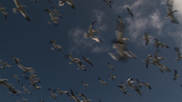 Gannets Flying stock footage