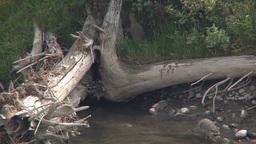 Raccoons on a dead tree stump Footage