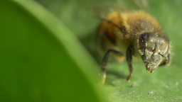 Macro of a bee walking on a leaf Footage